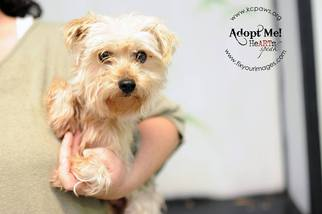 Maltese Mix Dog For Adoption in Kansas City, MO, USA