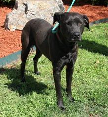 Labrador Retriever Dog For Adoption in Little Rock, AR, USA
