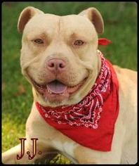 American Pit Bull Terrier-American Staffordshire Terrier Mix Dog For Adoption in San Pedro, CA, USA