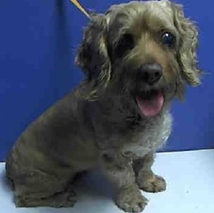 Cocker Spaniel Mix Dog For Adoption in Flushing, NY, USA