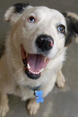 Border-Aussie Dog For Adoption in Kanab, UT, USA