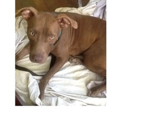 American Pit Bull Terrier Dog For Adoption in Von Ormy, TX