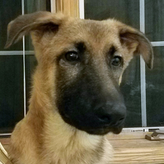 German Shepherd Dog Dog For Adoption in St. Louis Park, MN, USA