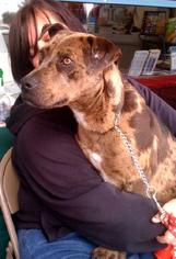 Catahoula Leopard Dog Dog For Adoption in Porter Ranch, CA, USA