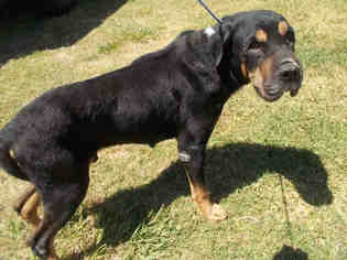 Chinese Shar Pei Rottweiler Mix Dog For Adoption In Rosenberg Tx Usa