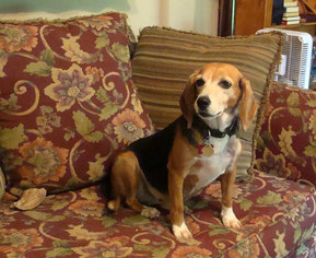 Beagle Dog For Adoption in Birmingham, AL, USA