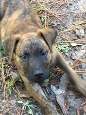 Plott Hound Mix Dog For Adoption in Magnolia, TX