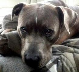 American Pit Bull Terrier-American Staffordshire Terrier Mix Dog For Adoption in Staten Island, NY, USA