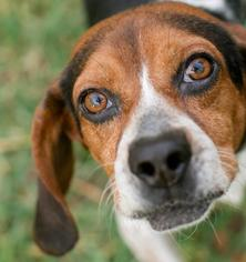 Beagle Dog For Adoption in Asheville, NC, USA