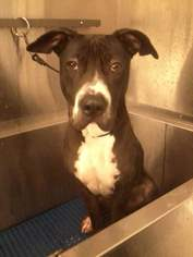Boxer-Chinese Shar-Pei Mix Dog For Adoption in Anaheim Hills, CA, USA