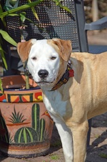 Bulldog-Labrador Retriever Mix Dog For Adoption in Houston, TX, USA