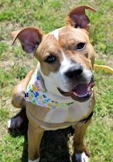 American Pit Bull Terrier Dog For Adoption in Virginia Beach, VA, USA