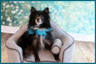 Pomeranian Dog For Adoption in Garland, TX, USA
