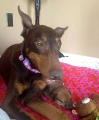 Doberman Pinscher Dog For Adoption in Maricopa, AZ, USA