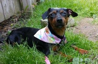 Dachshund Mix Dog For Adoption in Coatesville, PA, USA