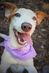 Dachshund-Jack Russell Terrier Mix Dog For Adoption in Marietta, GA