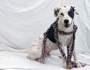 Dalmatian-Pointer Mix Dog For Adoption in Tampa, FL, USA