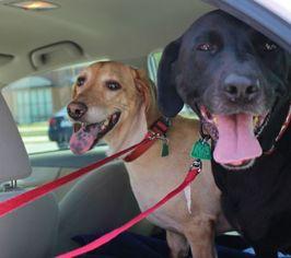 Basset Hound Dog For Adoption in Charleston, SC