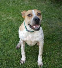 Boxer Mix Dog For Adoption in Hedgesville, WV, USA