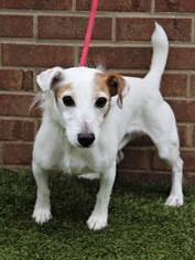 View Ad Jack Russell Terrier Dog For Adoption Near Tennessee Columbia Usa Adn 821962