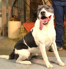American Staffordshire Terrier Mix Dog For Adoption in Trenton, MO, USA