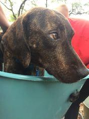 View Ad: Labrador Retriever-Treeing Walker Coonhound Mix Dog