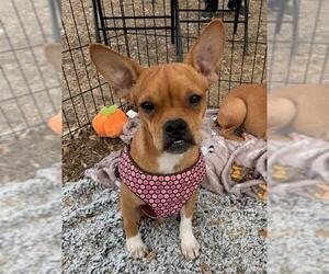 Faux Frenchbo Bulldog Dogs for adoption in Pipe Creek, TX, USA