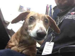 Dachshund Dog For Adoption in San Antonio, TX