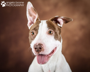 American Pit Bull Terrier Mix Dog For Adoption in Shakopee, MN, USA