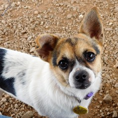 Chihuahua Dog For Adoption in Pacolet, SC