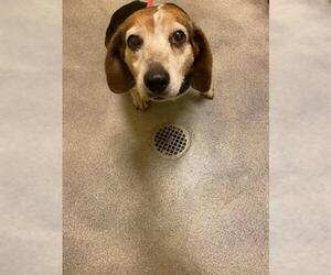 Beagle Dogs for adoption in Forestville, MD, USA