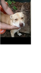 Chinese Shar-Pei-Labrador Retriever Mix Dog For Adoption in Von Ormy, TX
