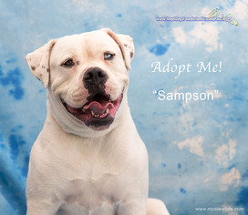 American Bulldog Dog For Adoption in Acton, CA, USA