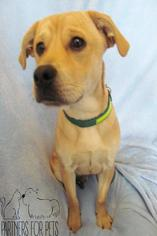 Mutt Dog For Adoption in Troy, IL, USA