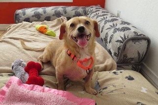 Doxle Dog For Adoption in Santa Monica, CA, USA