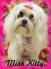 Mal-Shi Dog For Adoption in Anaheim Hills, CA, USA