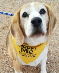 Beagle Dog For Adoption in Apple Valley, CA, USA