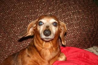 Dachshund Dog For Adoption in Jacksonville, FL, USA