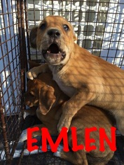 Labrador Retriever Mix Dog For Adoption in Waycross, GA, USA