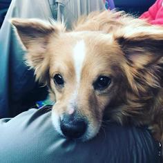 View Ad Pembroke Welsh Corgi Pomeranian Mix Dog For Adoption Ohio