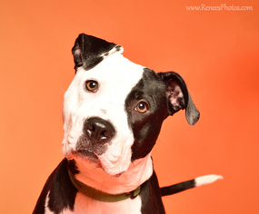 American Pit Bull Terrier Mix Dog For Adoption in Blacklick, OH
