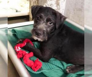 Border Terrier Dogs for adoption in Austin, TX, USA