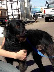Scottish Deerhound Mix Dog For Adoption in Colorado Springs, CO, USA