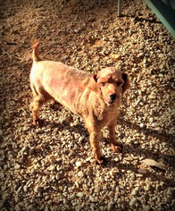 Poodle (Toy) Dog For Adoption in Pacolet, SC