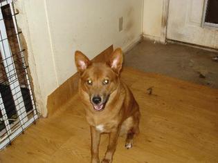 Chow Chow-Rhodesian Ridgeback Mix Dog For Adoption in Tonopah, AZ, USA