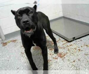 Presa Canario Dogs for adoption in Atlanta, GA, USA