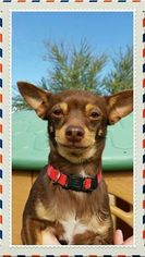 Chihuahua Dog For Adoption in Maricopa, AZ, USA