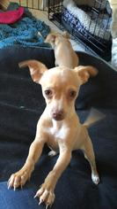 Chihuahua Dog For Adoption in Dana Point, CA, USA