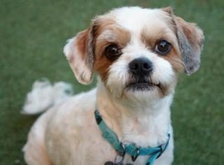 king charles spaniel shih tzu mix view ad cava tzu dog for adoption near california san 3554
