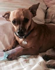 Chiweenie Dog For Adoption in Davie, FL, USA